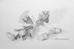 Fruits du chêne032