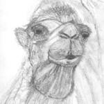 croquis, d'après nature, chameau, dromadaire