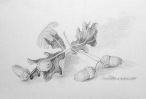 gland, dessin,fruit du chêne
