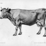 La vache, bobidés, anatomie animale,