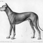 anatomie animale, chien
